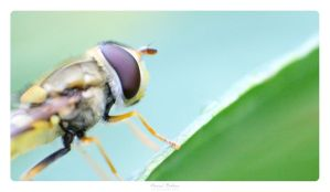 Hoverfly by MBKKR
