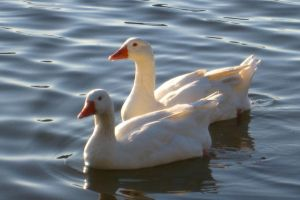 Geese on Lake by Tithos