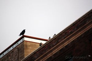 Mr. Raven and the Three Pigeons by Cinderpool