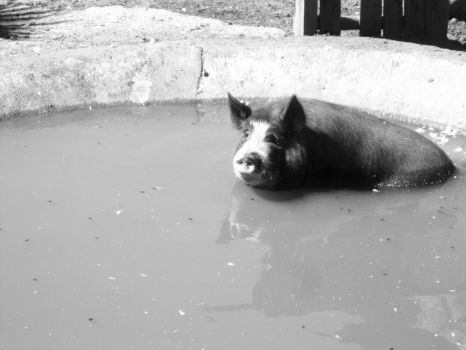A pig in a pond by MinnXyMinnX