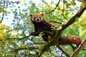 Zurich Zoo - Red Panda II by Rela1985