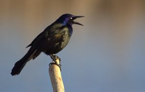 Flourescent Grackle by lenslady