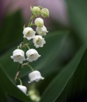 Lily of the Valley by AlinaKurbiel