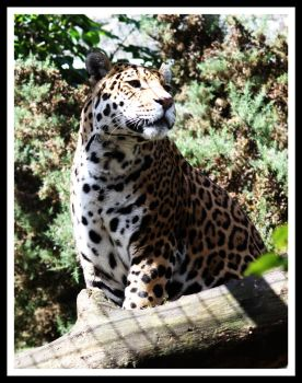 Amur Leopard 5 by Littlegothickitty