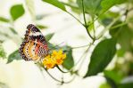 Cethosia cyane by only1second