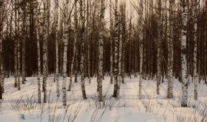 birch IV by i-see-faces