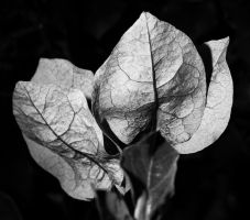 Night Petals - Greyscale by Drake-Photography