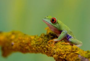 Baby red eyed tree frog by twilightesque