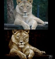 Sepia Lioness: Before/After by braxtonds
