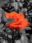 Stand Out Rose by awb77