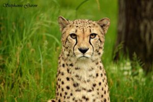 Guepard by stepheesmq