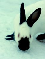 Snow Bunny by cathy001