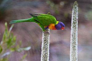 Rainbow Lorikeet by Simon-Hunt