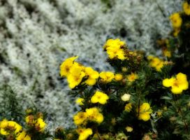 white and yellow...? by Eriamel