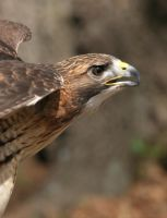 Red-Tailed Hawk 20D0034837 by Cristian-M