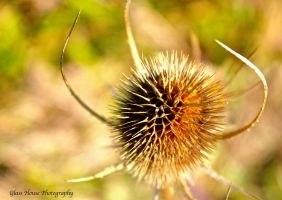 Teasel by GlassHouse-1