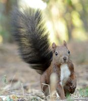 Squirrel by corsuse