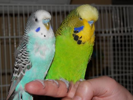 Budgie Boys by actipton80