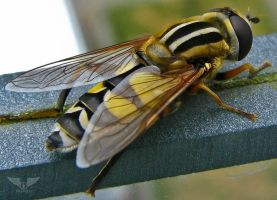 Big Ass Hoverfly on my balcony. by Brandzai