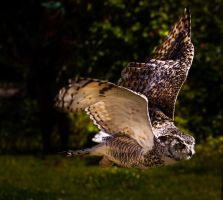 Owl flight 2 by nigel3