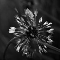 dandelion gone by MK-NI