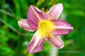Purple Lily 0894 by TommyPropest-Candler