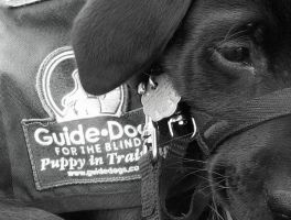 GUIDE DOGS FOR THE BLIND by ryderwolf24