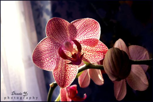 Beauty of Orchid1 by DessieYo