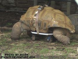 Turtle On Wheels by sth1977