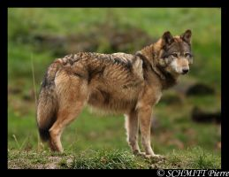 European wolf by Kiba67
