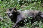 Raccoon dog by Parides