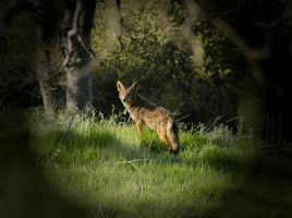 Morning Coyote by Caitiekabob