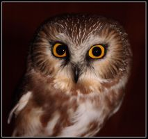 Northern Saw-Whet Owl by seanbeckettvt