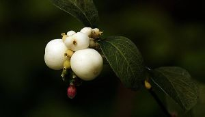 white berry by awjay