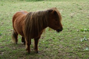 Shetland pony by bookscorpion