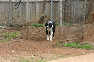 Border Collie Stock [Tex] 4 by HPsCopperMoments