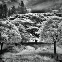 Tree II - infrared by MichiLauke