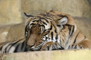 tigress 12 by Tigerlover4