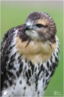 2011-66 Red Tailed Hawk by W0LLE