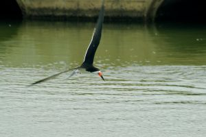 Black Skimmer 01 by robert-kim-karen