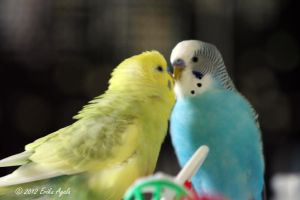 My Budgie Brothers by Sombraluz-Images