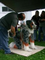 WIlliamston dog show 2013: Judging the Aussie by Tychoaussie