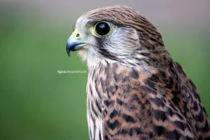 common kestrel by Tigina