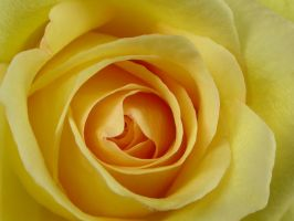 Yellow Rose by Khelgar