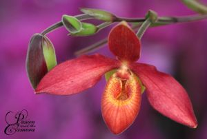 Red Lady's Slipper Orchid by PassionAndTheCamera