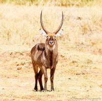 Male Waterbuck by Okavanga