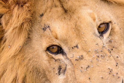 Lion Eyes by JustinBowen