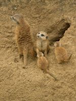 MeerKat Family by Wayeb