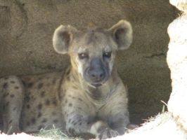Spotted Hyena by Leafykins