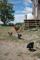 chickens by beth4328